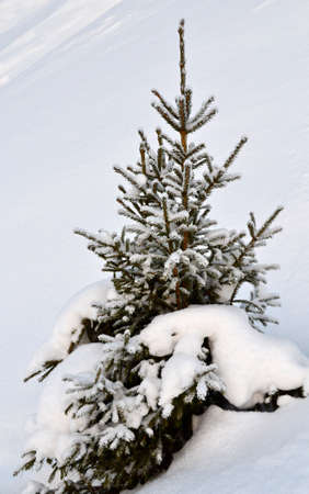 Freshly fallen snow on a small  fir tree Stock Photo