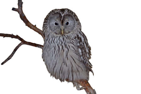Ural Owl on branch in front of white background Stock Photo