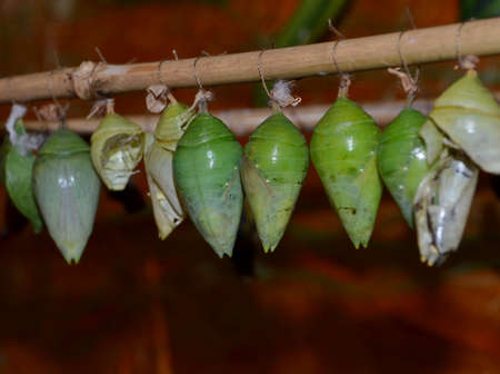Chrysalis butterfly papilionidae ready for hatching