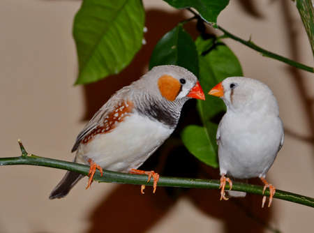 Two zebra finch birds sitting on a branch Stock Photo
