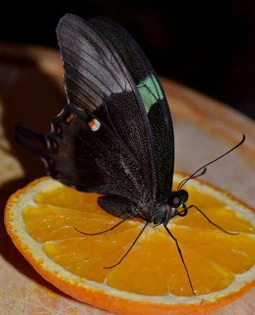 Papilio blumei butterfly close-up sitting on a slice of orange