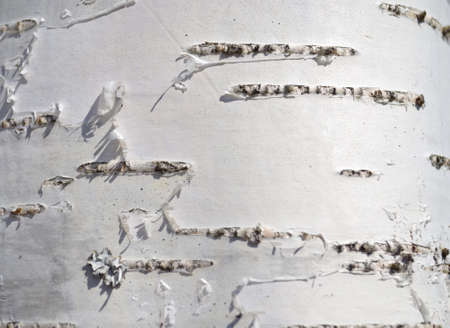 Texture of birch bark photo