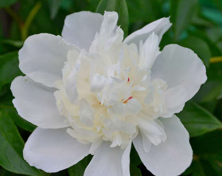Close up of a fragrant white peony