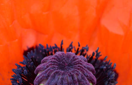 Poppy flower close-up as background photo
