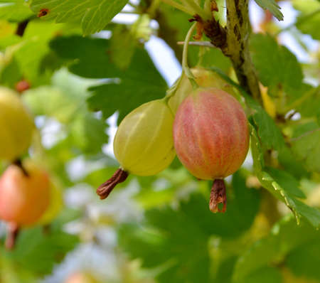 Gooseberries on a branch