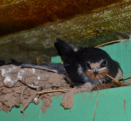 One baby swallow sitting next to the nest Stock Photo