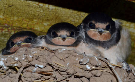 Three baby swallows in a nest