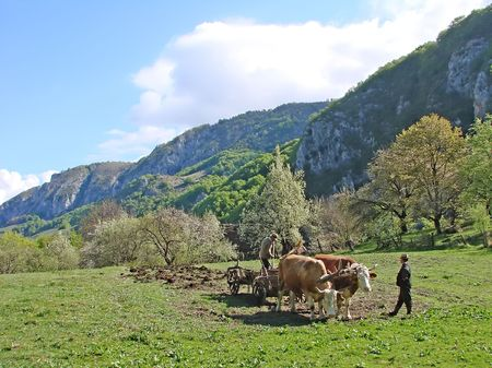 Carriage with bulls and countryman working with fertilizers                   Stok Fotoğraf