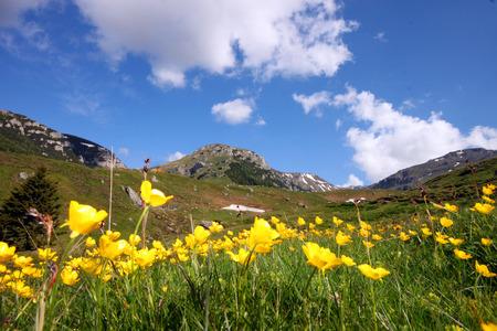 paysage d'été en Carpathes avec des fleurs jaunes
