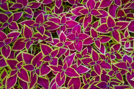 Decorative floral background of Coleus (Painted Nettle) plant - latin: Solenostemon scutellarioides Stock Photo