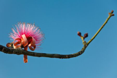barringtonia: Pink Barringtonia Asiatica flower on a branch. Selective focus