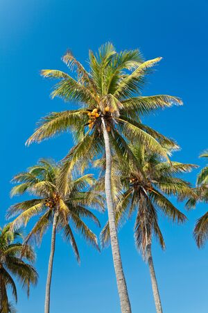 Coconut palmtrees against bright blue tropical sky Stock Photo - 18881336