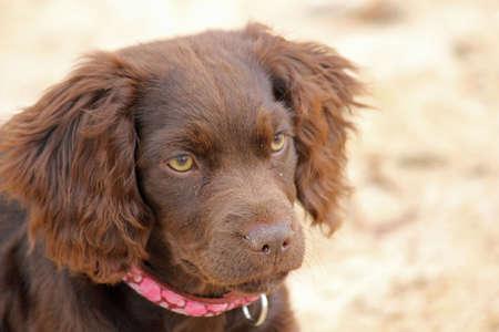 Curious Boykin Spaniel