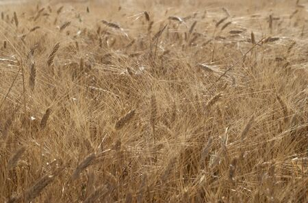 field full of ripe wheat at sunset Stock Photo - 18304429