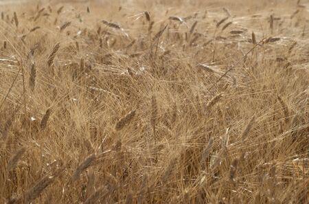 field full of ripe wheat at sunset
