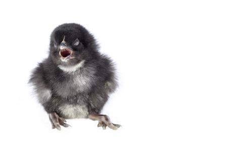 newborn chicken on white background with mouth open