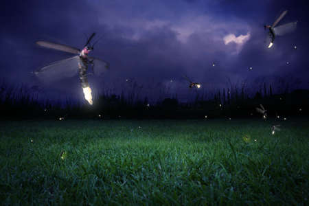 firefly: real fireflies at a calm night Stock Photo