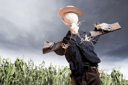 autumn scarecrow: photo of scarecrow in corn field on a cloudy day