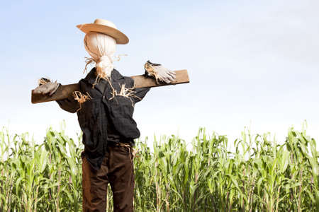 scarecrow: photo of scarecrow in corn field on a sunny day Stock Photo