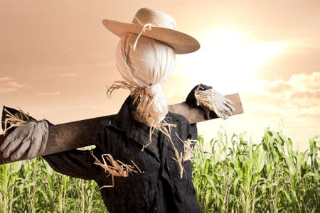 scarecrow: photo of scarecrow in corn field at sunrise