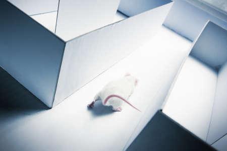 mouse running inside a maze photo