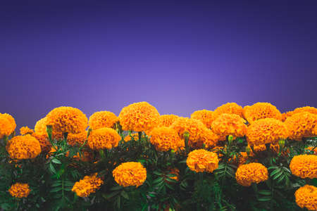 """Traditionelle cempasuchil Blumen für Altäre an """"Tag der Toten"""" in Mexiko verwendet Standard-Bild - 64145468"""