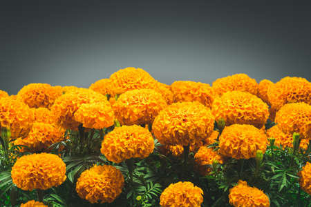 traditional cempasuchil flowers used for altars at day of the dead in Mexico