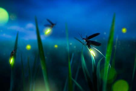 Glühendes Glühwürmchen auf einem Gras, das nachts abgelegt wurde Standard-Bild