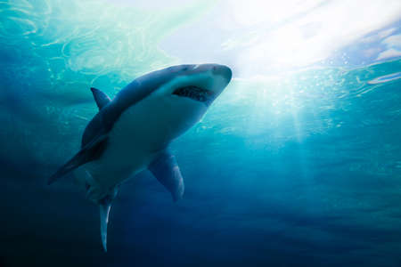 Great white shark swimming underwater with light rays / 3d illustration / mixed media 스톡 콘텐츠 - 114254905
