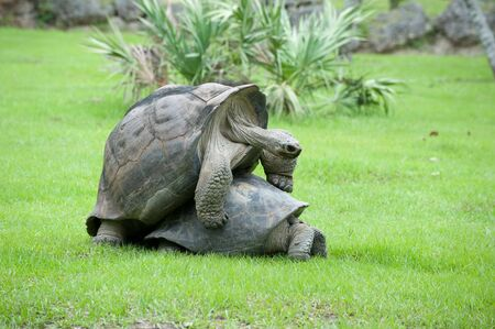 Two Tortoises Mating outdoors on green grass