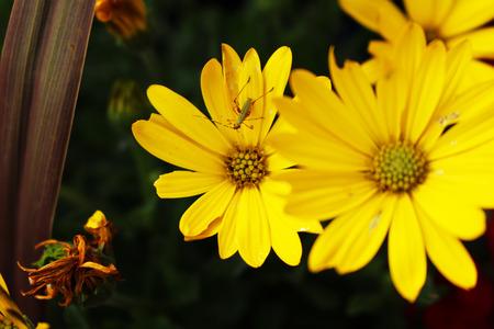 daises: Bug on yellow flowers Stock Photo
