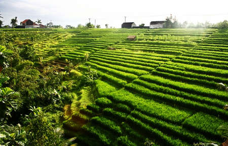 an exotic beautiful rice field Stock Photo - 9869661