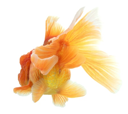 closeup of a goldfish isolated on white background Stock Photo - 20503856