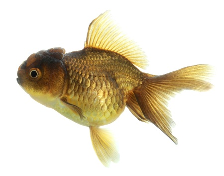 closeup of a goldfish isolated on white background Stock Photo - 20503859
