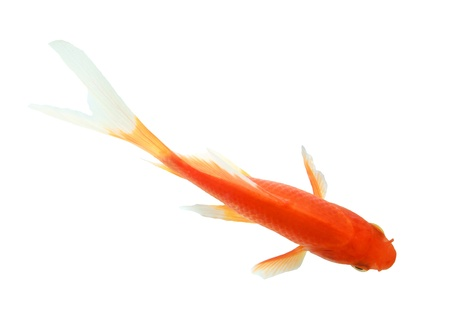 closeup of a goldfish isolated on white background photo