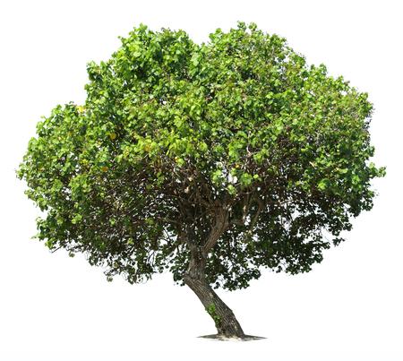 大きな緑の樫の木の白い背景に分離