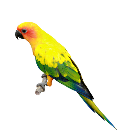 portrait of Sun Conure isolated on white background photo