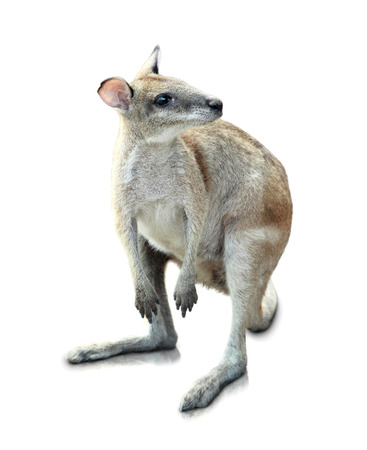 joey: Portrait Of Kangaroo Isolated On White Background