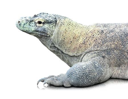 komodo island: portrait of Komodo dragon (Varanus komodoensis). isolated over white background