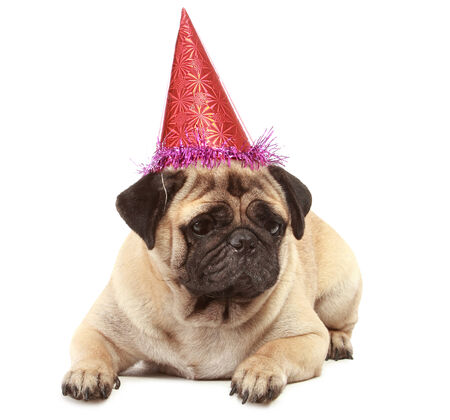 cute Pug dog with birthday hat isolated on white background photo