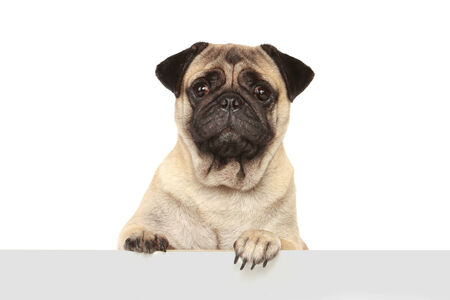 pug dog with blank banner isolated on white background photo