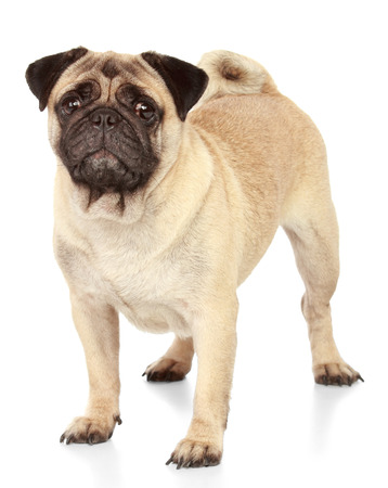 isolate: Pug dog isolated on white background
