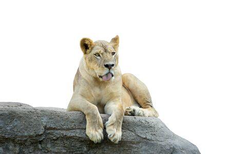 panthera leo: Lioness, Panthera leo, laying on the rock