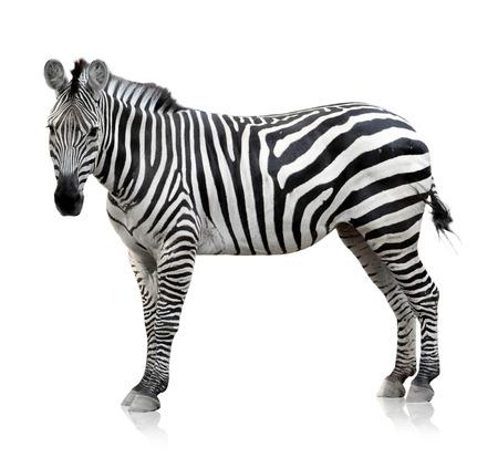 animales salvajes: Zebra que es plantean en el fondo blanco