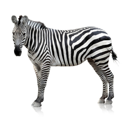 white fur: Zebra which is pose on the white background