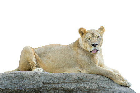 lioness: Lioness, Panthera leo, laying on the rock