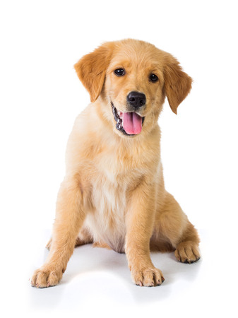 A portrait of a Golden Retriever dog sitting on the floor, isolated on white background