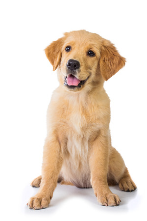 A portrait of a Golden Retriever dog sitting on the floor, isolated on white background Banco de Imagens - 38180795