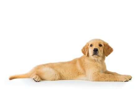 Een portret van een golden retriever hond die op een witte achtergrond