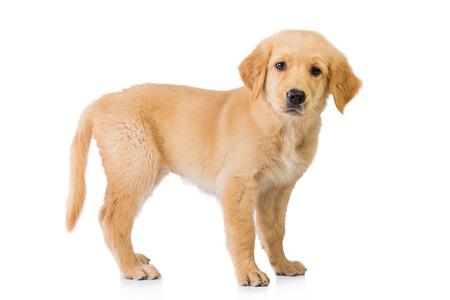 Een portret van een Golden Retriever hond staande geïsoleerd op een witte achtergrond